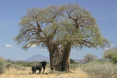 800px-baobab_and_elephant_tanzania_.jpg